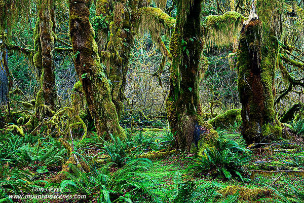 Hoh Rain Forest In Olympic National Park Prints Photos