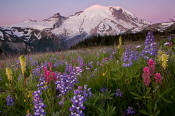 Image of Mount Rainier above flowers in Yakima Park