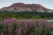 Image of Crowfoot Mountain above Fireweed