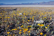 Image of Desert Gold flowers at Mormon Point, Death Valley