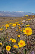 Image of Desert Gold flowers, Ashford Mill, Death Valley