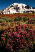 Image of Mount Rainier above Pink Heather