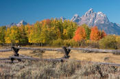 Image of Grand Teton above fall colors and fence, Grand Teton National Park
