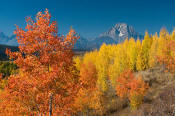 Image of Mount Moran above autumn foliage near Oxbow Bend, Grand Teton National Park