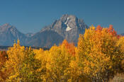 Image of Mount Moran above autumn colors, Grand Teton National Park