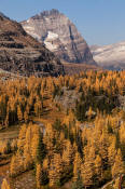 Image of Odaray Mountain abova fall larches, Opabin Plateau